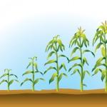 Criação de Infográfico - Cliente: Monsanto